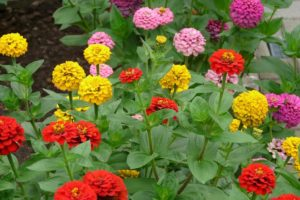beautiful blooming annuals outside garden