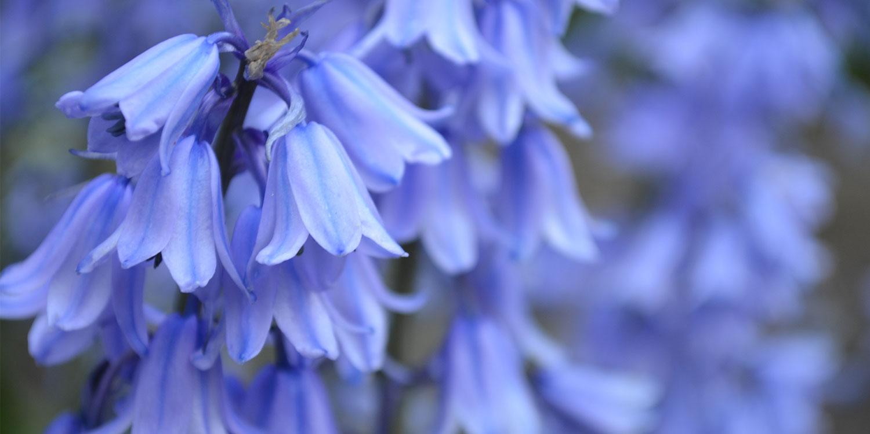 bluebells flower