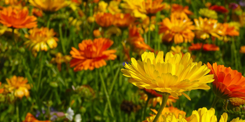 yellow and orange daisies