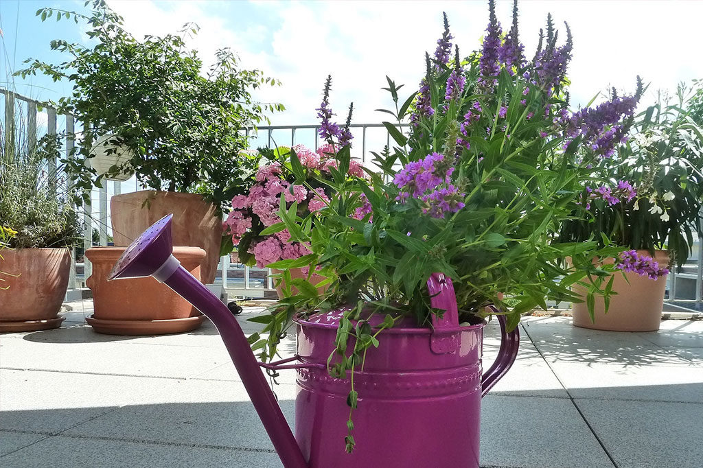 flowers in tin purple watering pot