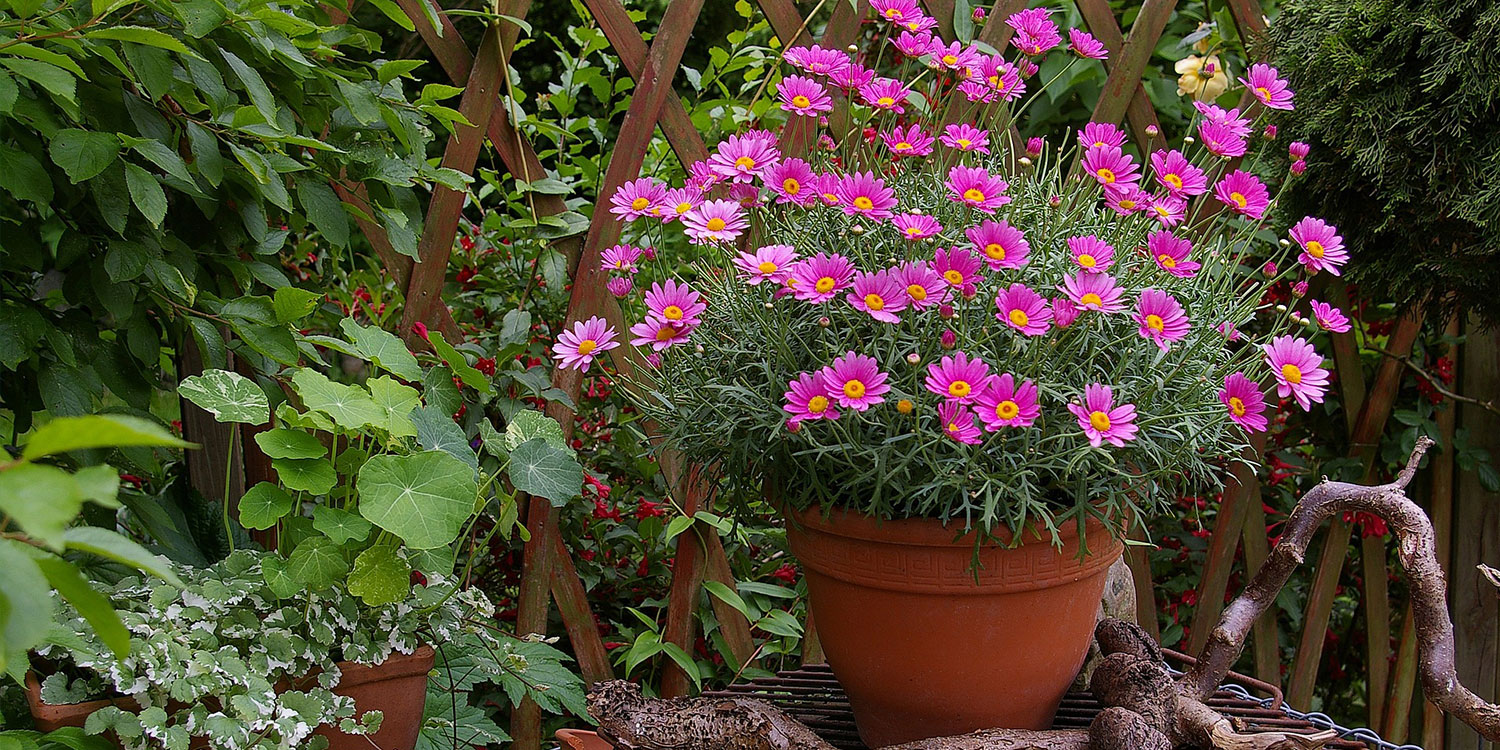 daisies in terra-cotta pot outdoors