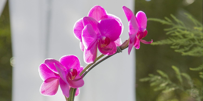 closeup pink moth orchid - Pink Phalaenopsis