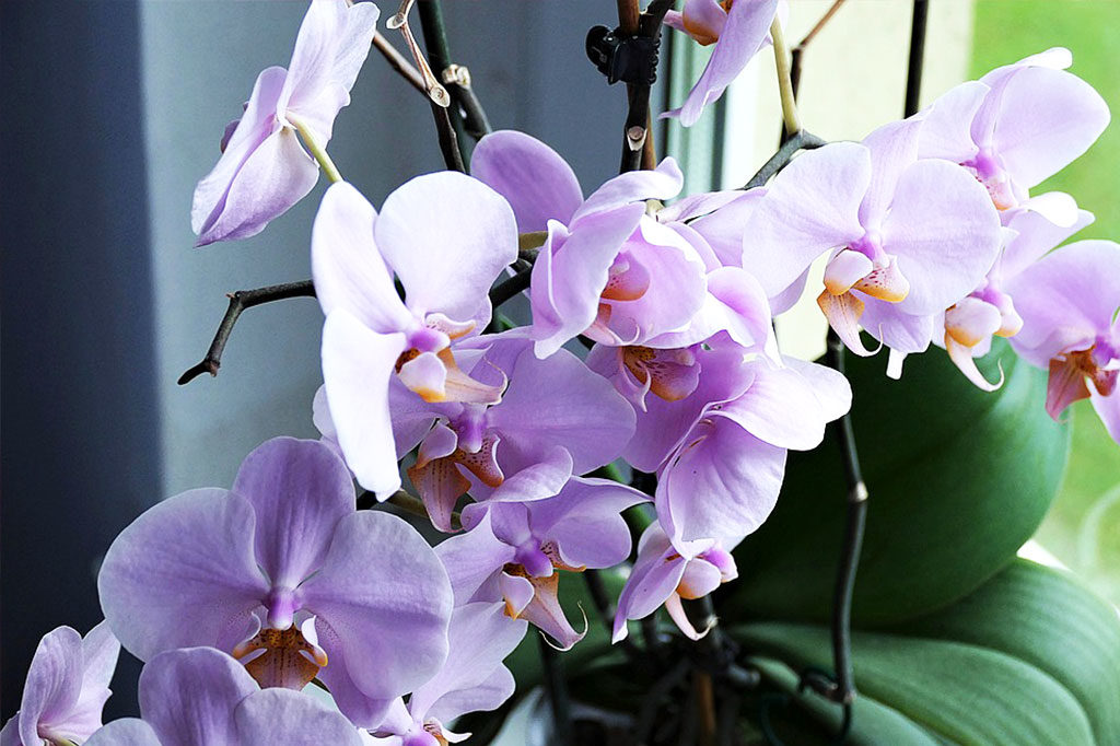 purple orchids sitting near window with sunlight
