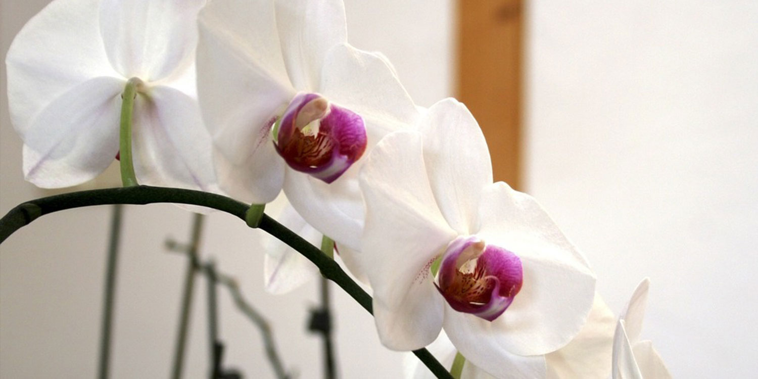 closeup of white moth orchid - Hawaiian