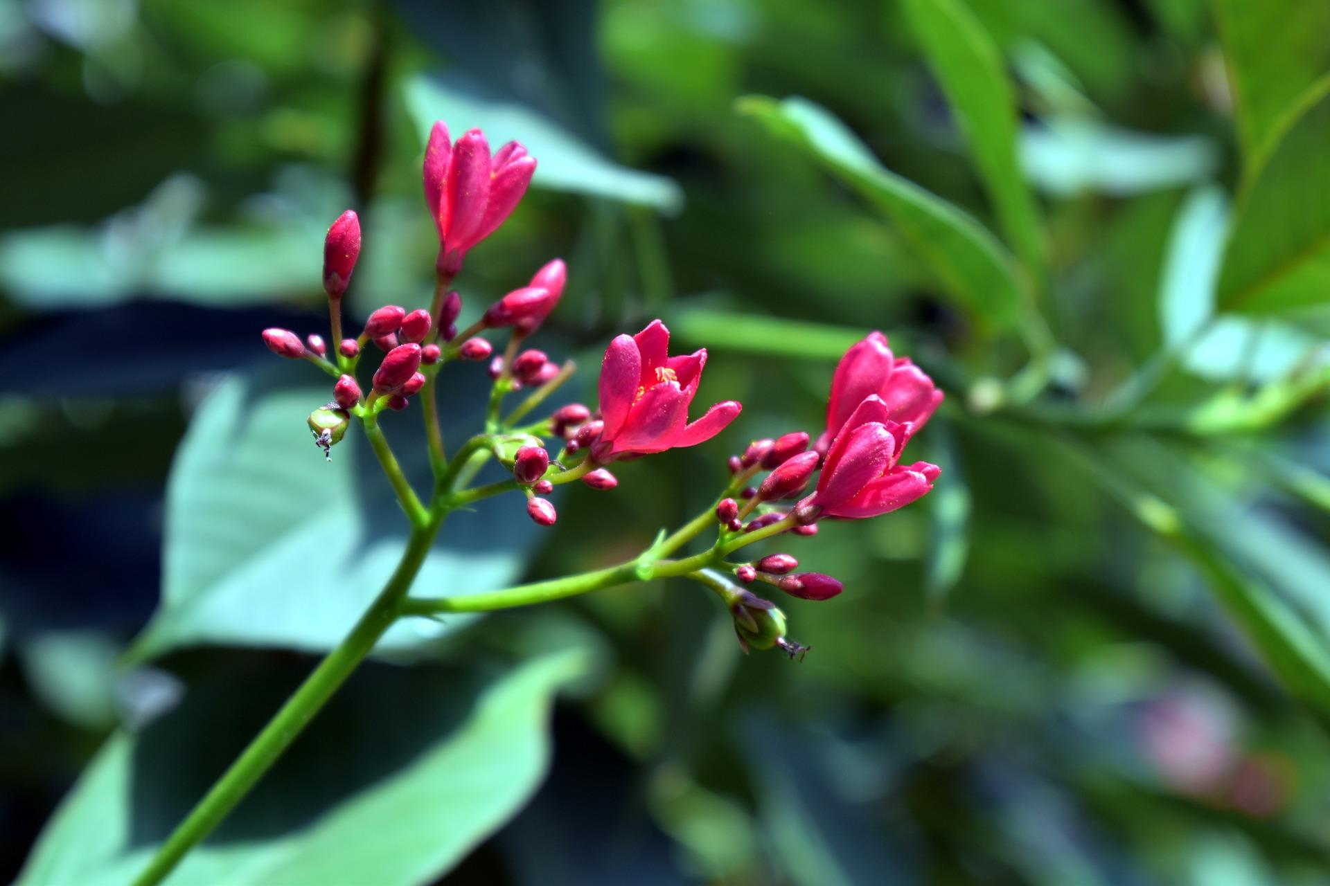 jatropha butterfly plant