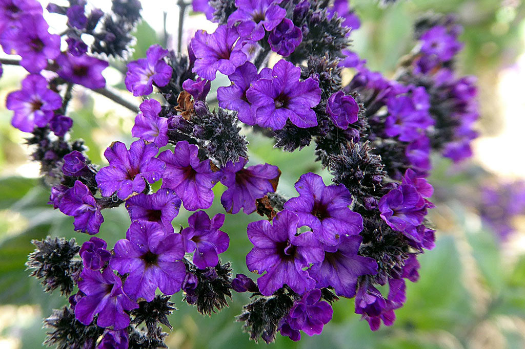 fragrant plants purple heliotrope florida