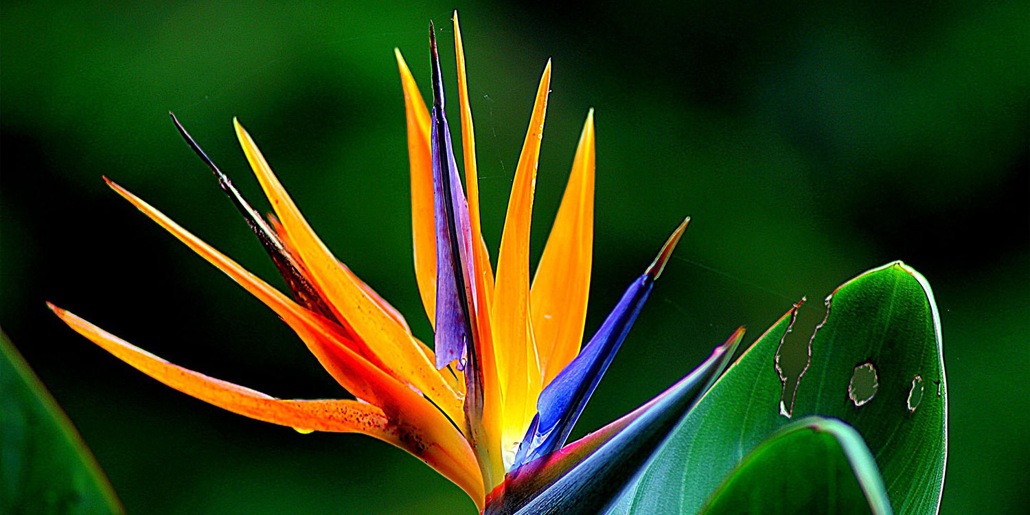exotic flowers bird of paradise