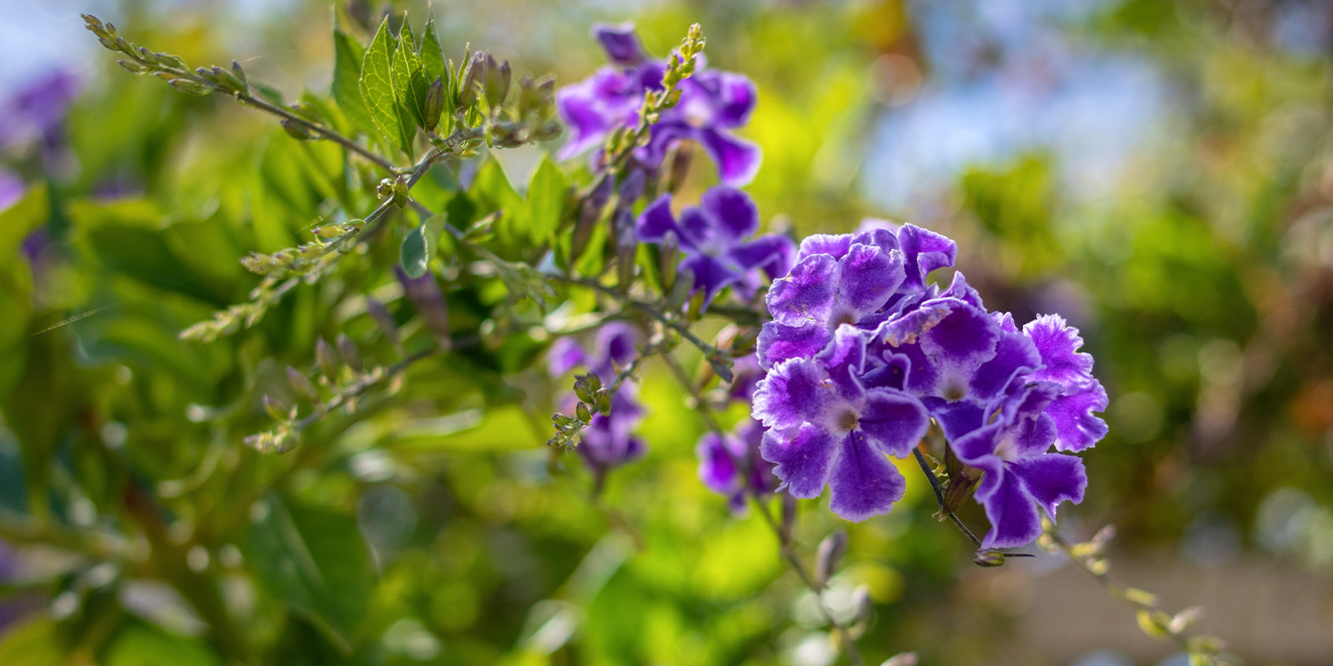 fragrant plants duranta