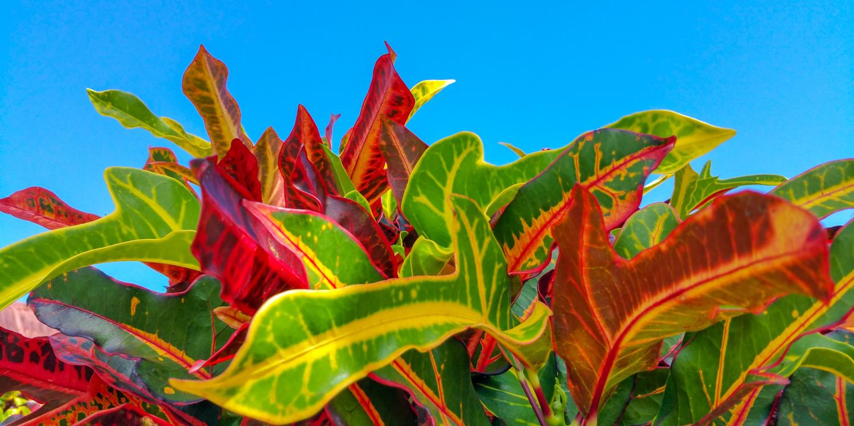 shade gardening tropical croton