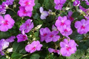shade gardening impatiens