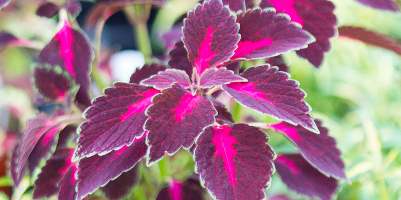 coleus rainy season gardening plant