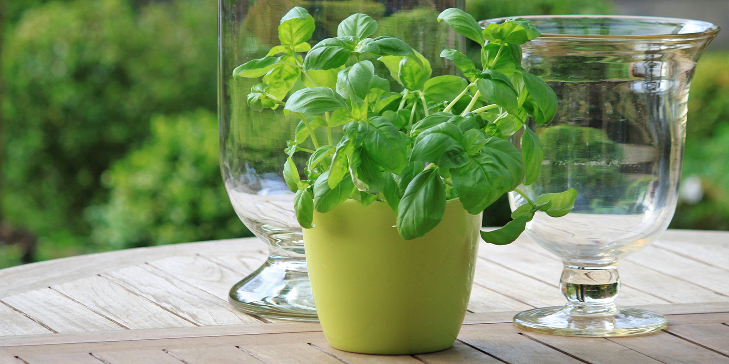 mosquito repellent plants herbs peppermint basil
