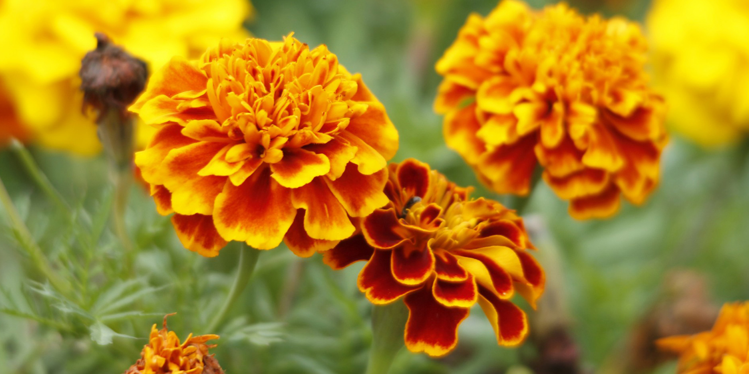 mosquito repellent plants marigolds