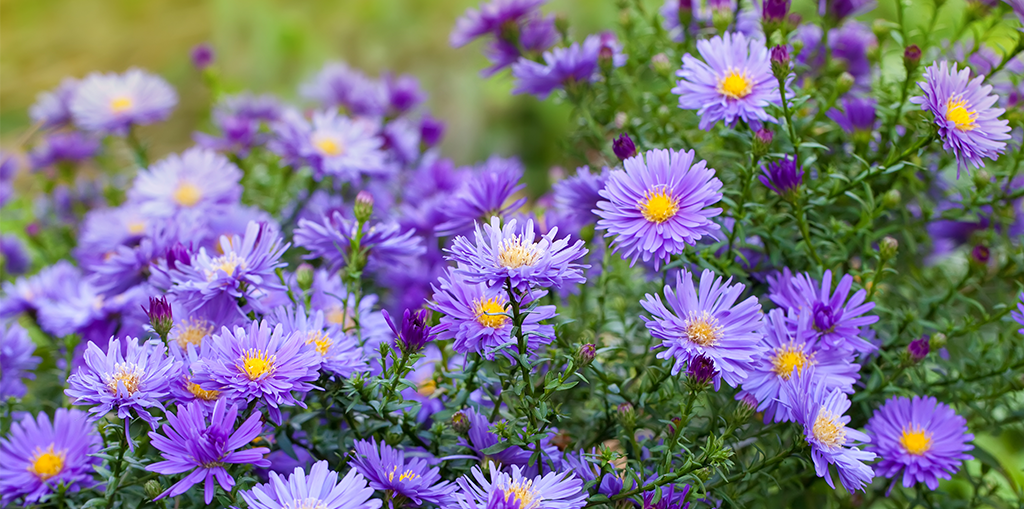 perennial blooming calendar for soflo aster