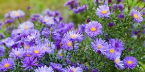 perennial blooming calendar for soflo aster