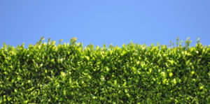 Hedge Plants for Florida Living Color Fort Lauderdale