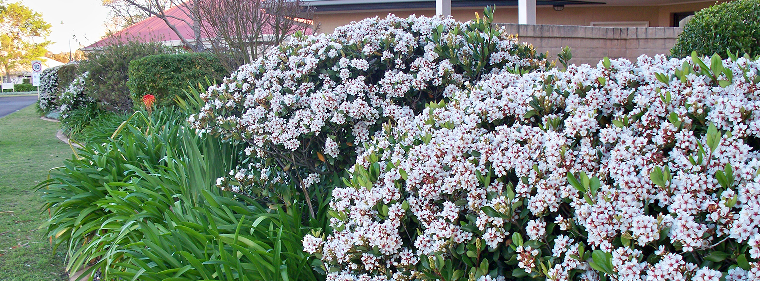 Indian Hawthorn Hedge Plants Lauderdale Florida