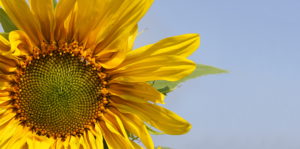 sunflowers-how-to-grow-them-in-fort-lauderdale-mammoth-sunflower-header