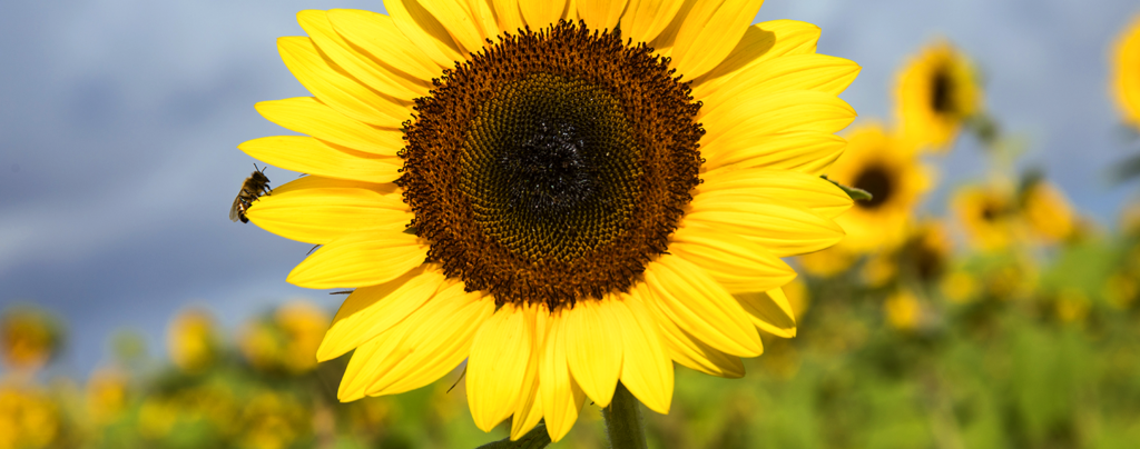 sunflowers-how-to-grow-them-in-fort-lauderdale-sunflower-with-bee