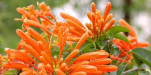 the-best-plants-for-direct-sunlight-florida-flame-vine-orange