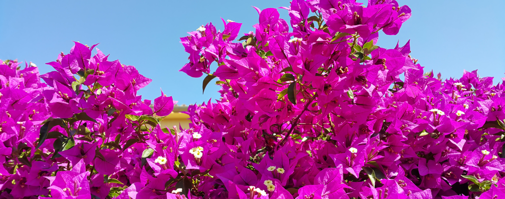 10-big-bold-plants-for-indoors-and-out-pink-bright-plant