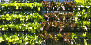 everything-you-need-for-growing-an-edible-living-wall-header-lettuce-bright