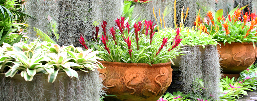 adding-bromeliads-to-landscape-bromeliads-in-pots