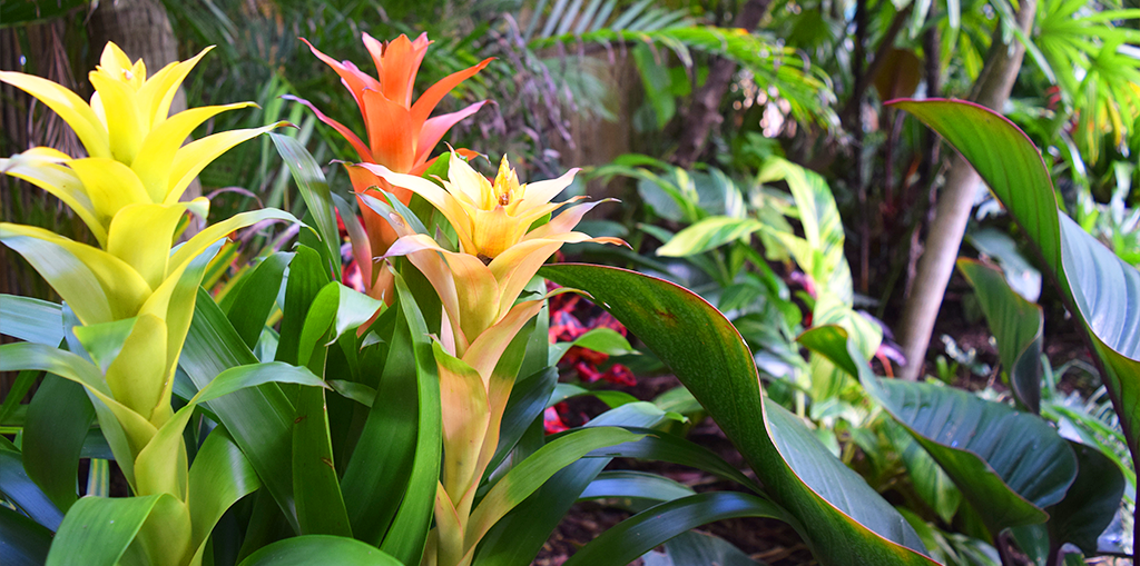 adding-bromeliads-to-landscape-bromeliads-in-tropical-garden