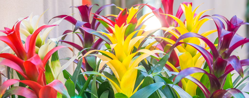 adding-bromeliads-to-landscape-colorful-bright-bromeliads