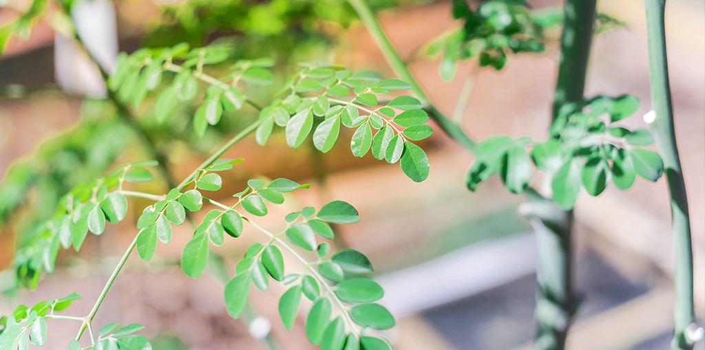 moringa-tree-bright-header