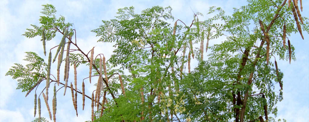 moringa-tree-full-tree-and-sky