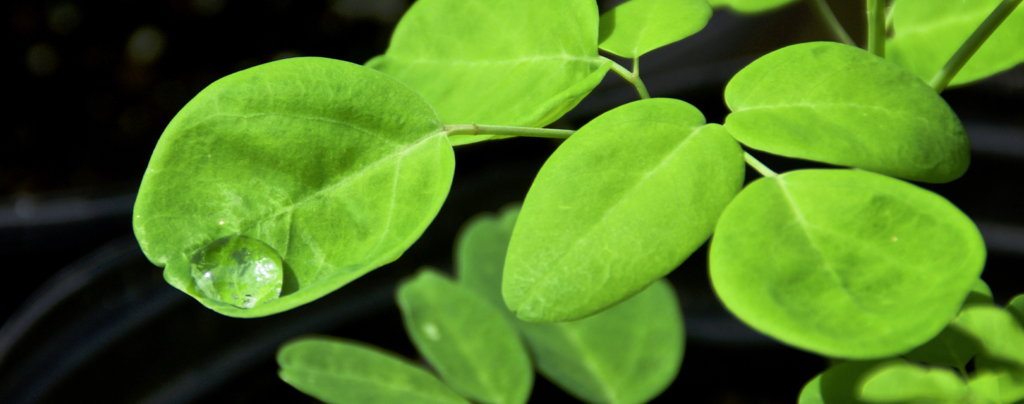 moringa-tree-leaves-with-water-droplet