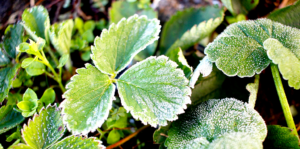 sheltering-tender-plants-from-frost-strawberry-plant-with-frost