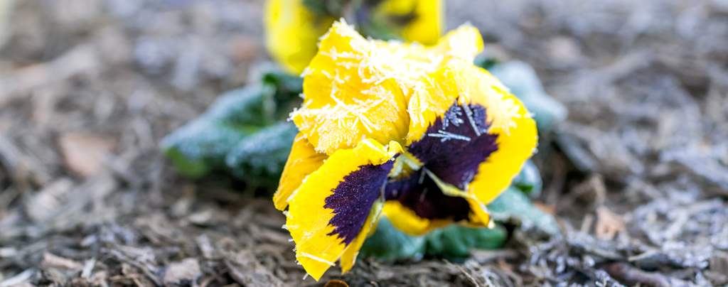 sheltering-tender-plants-from-frost-yellow-pansy-with-frost-crystals