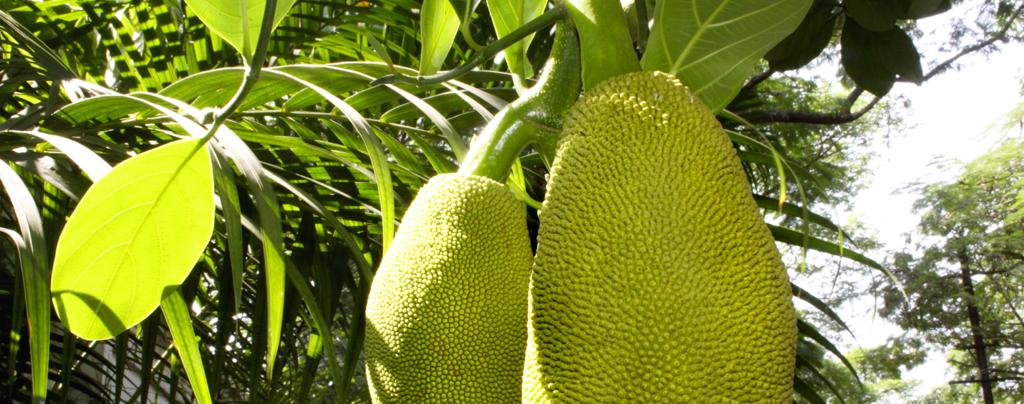how-to-grow-jackfruit-large-jackfruit-up-close