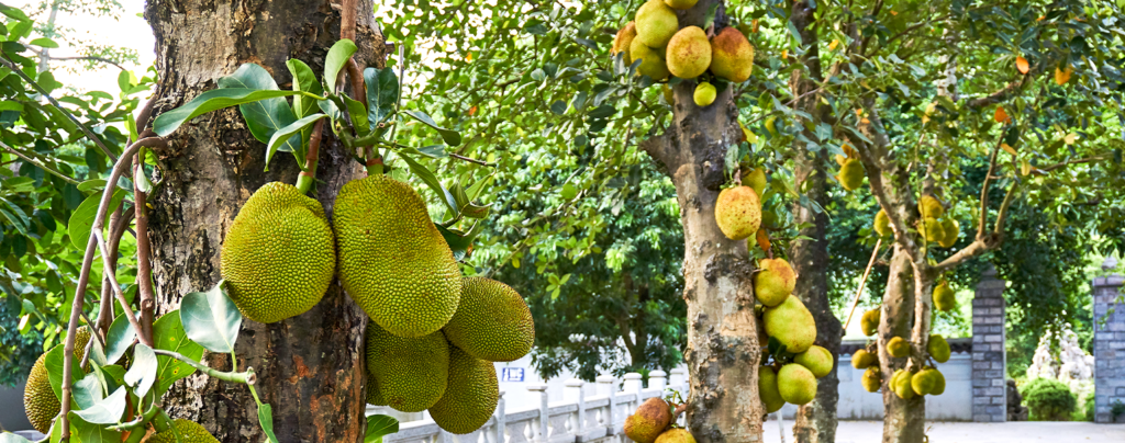 how-to-grow-jackfruit-several-jackfruit-trees-in-row