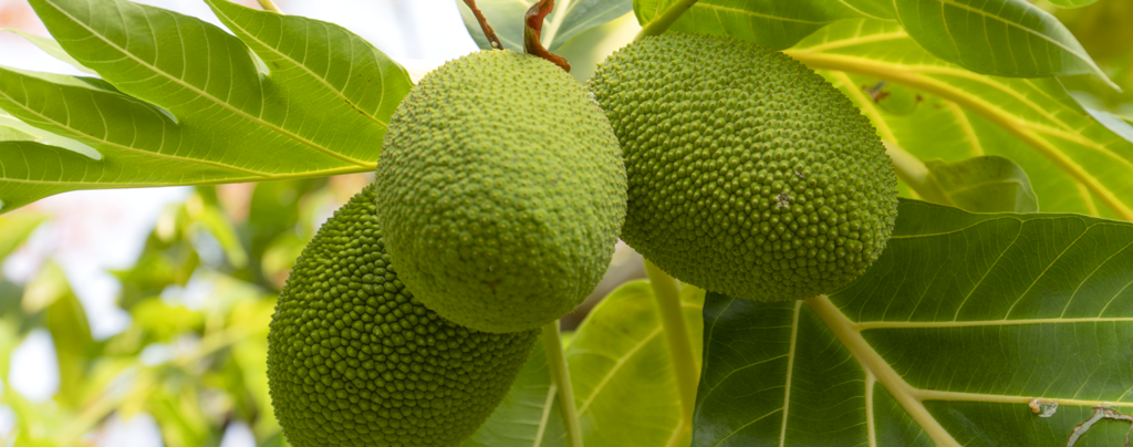how-to-grow-jackfruit-small-green-jackfruit