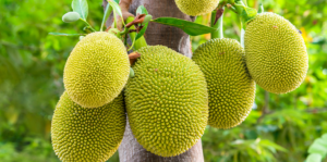 how-to-grow-jackfruit-up-close-header