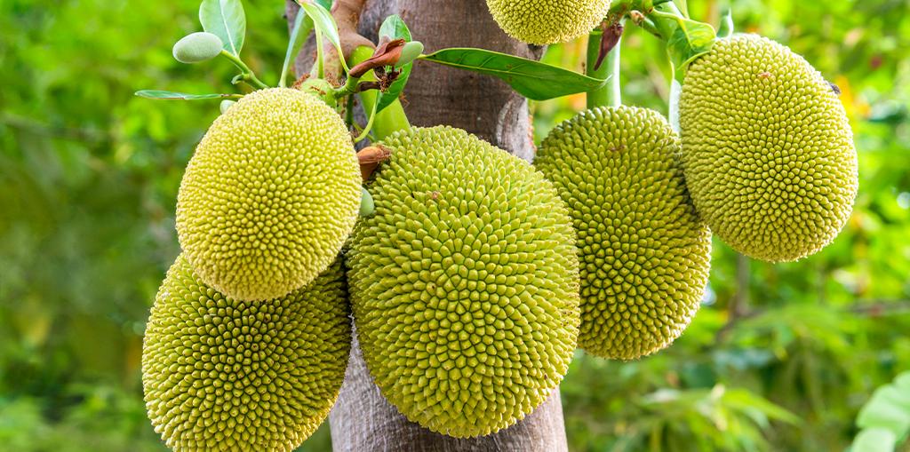 how-to-grow-jackfruit-up-close-header