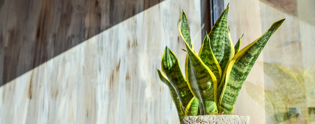 tropicals-air-purifiers-snake-plant-sunlight