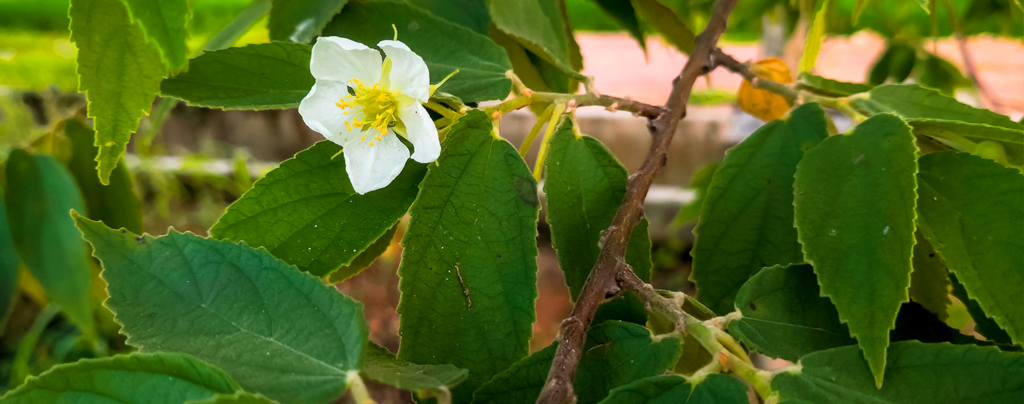 expert-tips-growing-strawberry-tree-white-flower