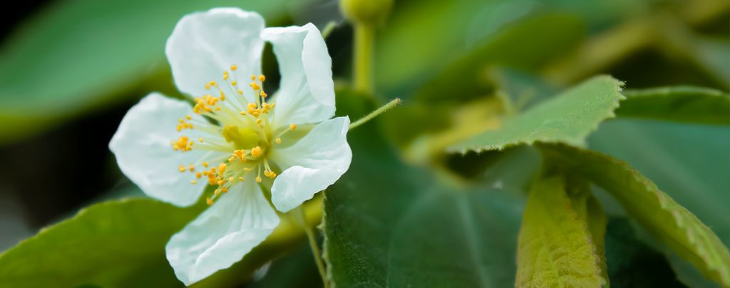 expert-tips-growing-strawberry-tree-white-flower-up-close