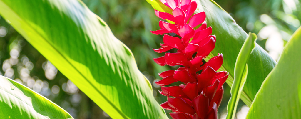 ginger-beautiful-tropical-edible-plant-red-flower
