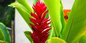ginger-beautiful-tropical-edible-plant-red-flower-header