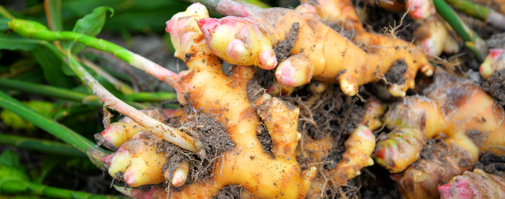 ginger-beautiful-tropical-edible-plant-red-flower-header-ginger-roots