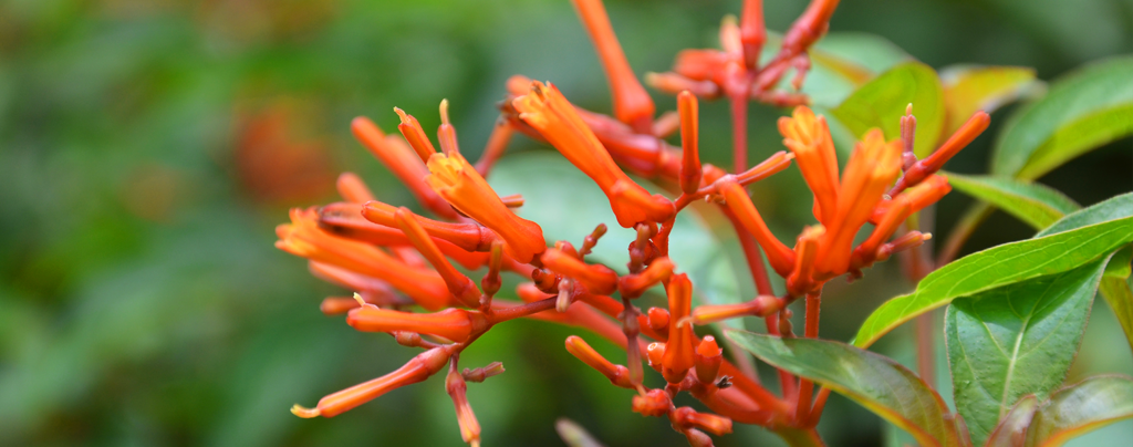 flowering-tropical-shrubs-firebush
