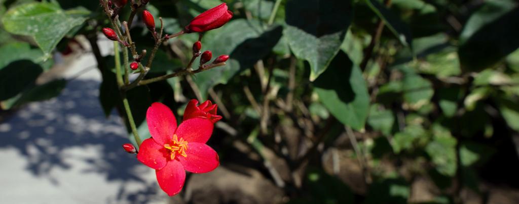 flowering-tropical-shrubs-jatropha