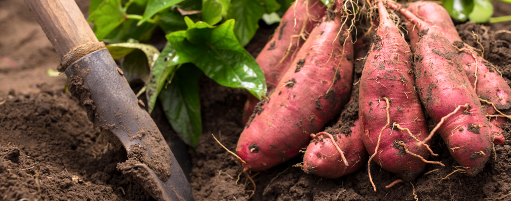 how-to-grow-perfect-sweet-potatoes-harvesting