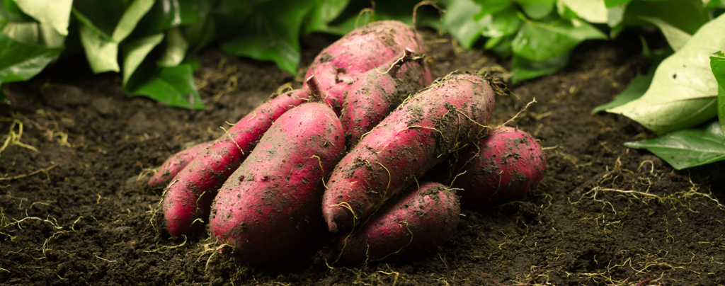 how-to-grow-perfect-sweet-potatoes-sitting-on-ground