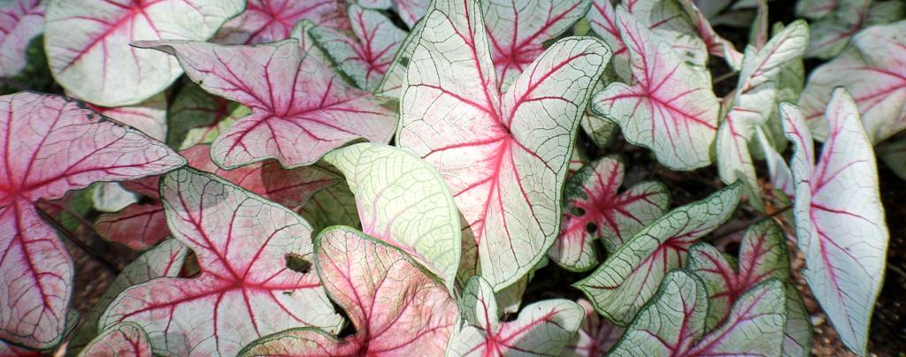 living-color-florida -white-queen-caladium